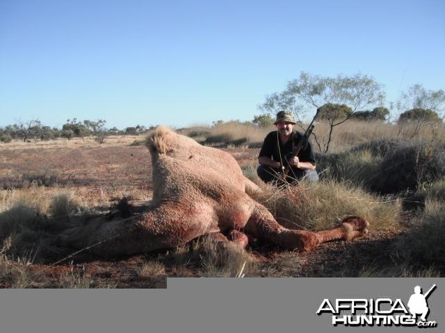 Hunting Camel