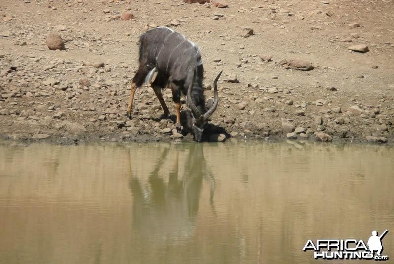 Nyala at water SA