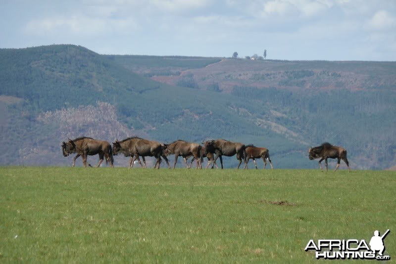 Wildebeest KZN province of South Africa