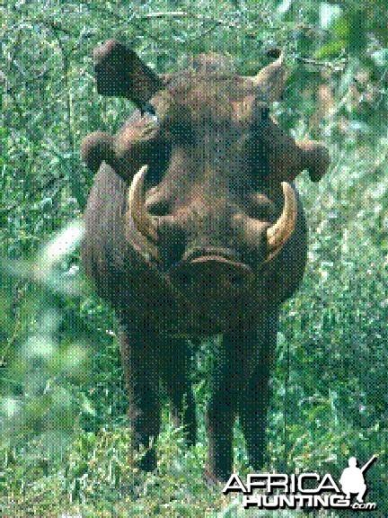 Desert warthog Ph. aethiopicus