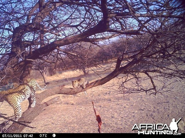 Baited Leopard in Namibia