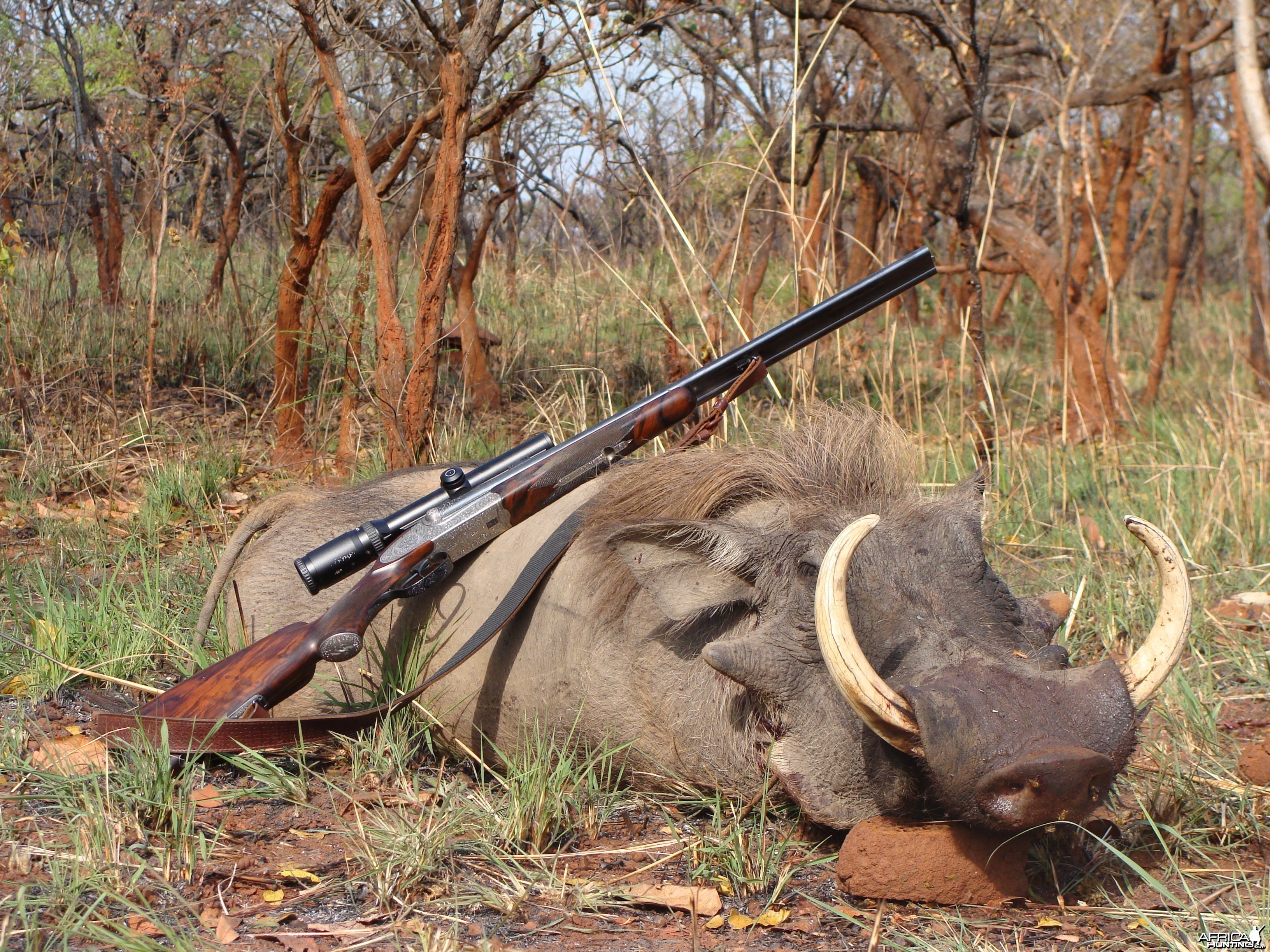 16.5 inch Warthog hunted in CAR with Central African Wildlife Adventures