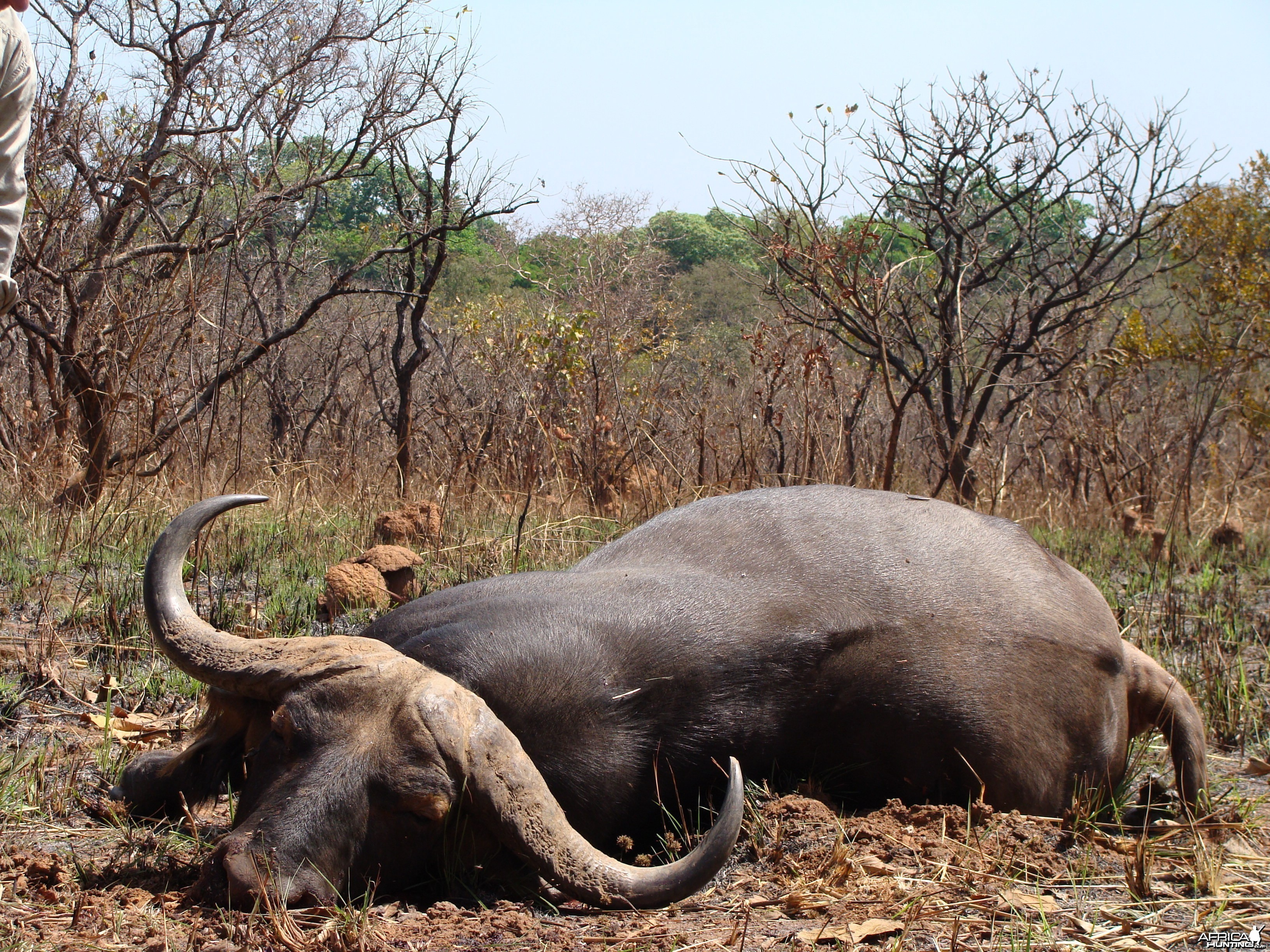 38 inch spread Buffalo hunted in CAR with Central African Wildlife Adventur