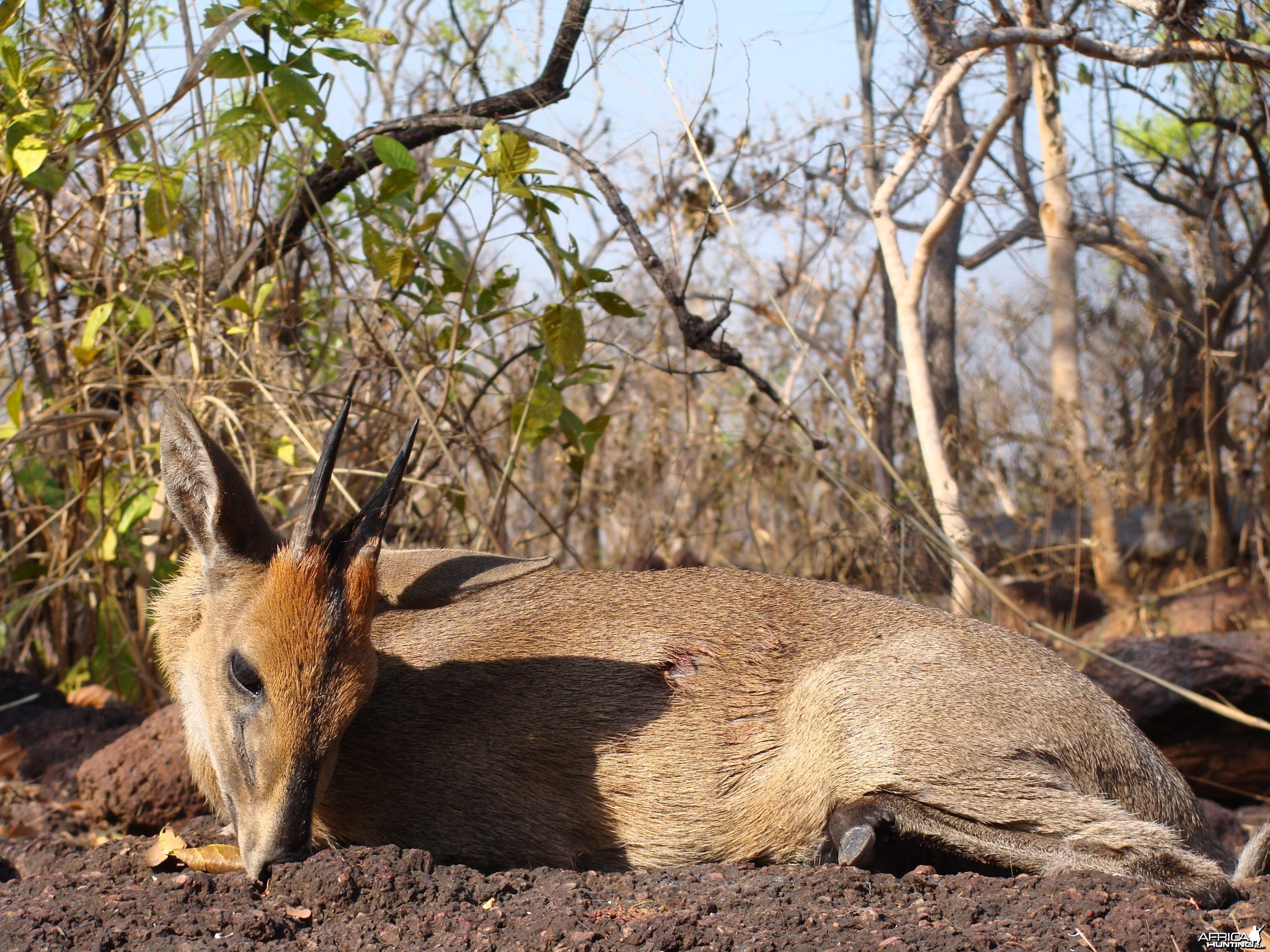 Bush Duiker hunted in CAR with Central African Wildlife Adventures