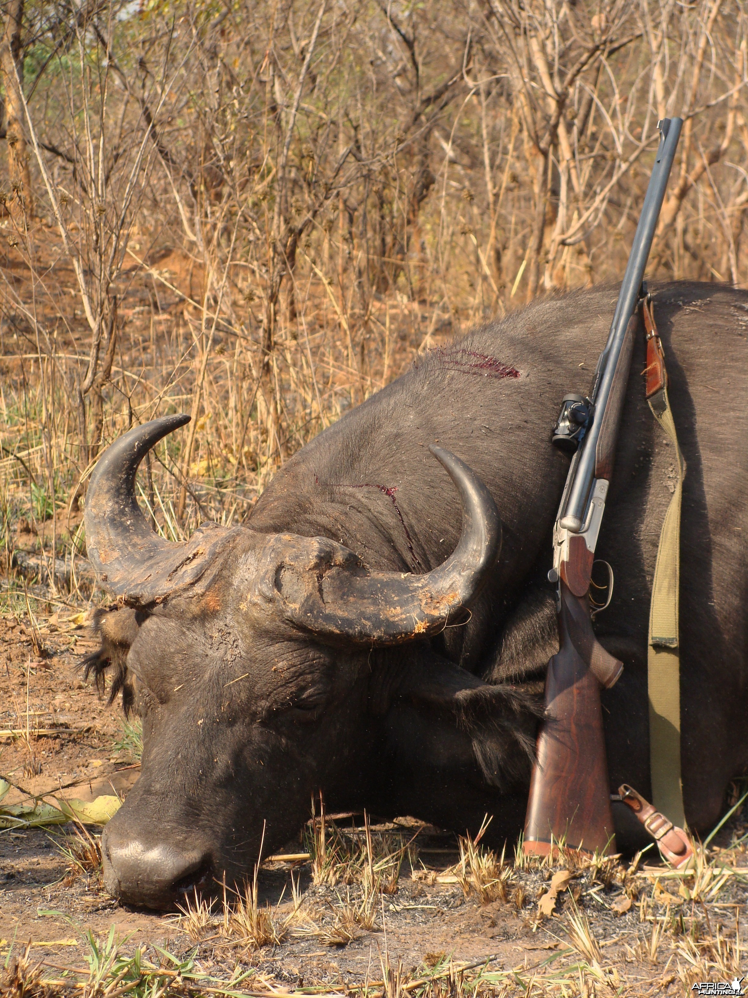 Forest Buffalo hunted in CAR with Central African Wildlife Adventures