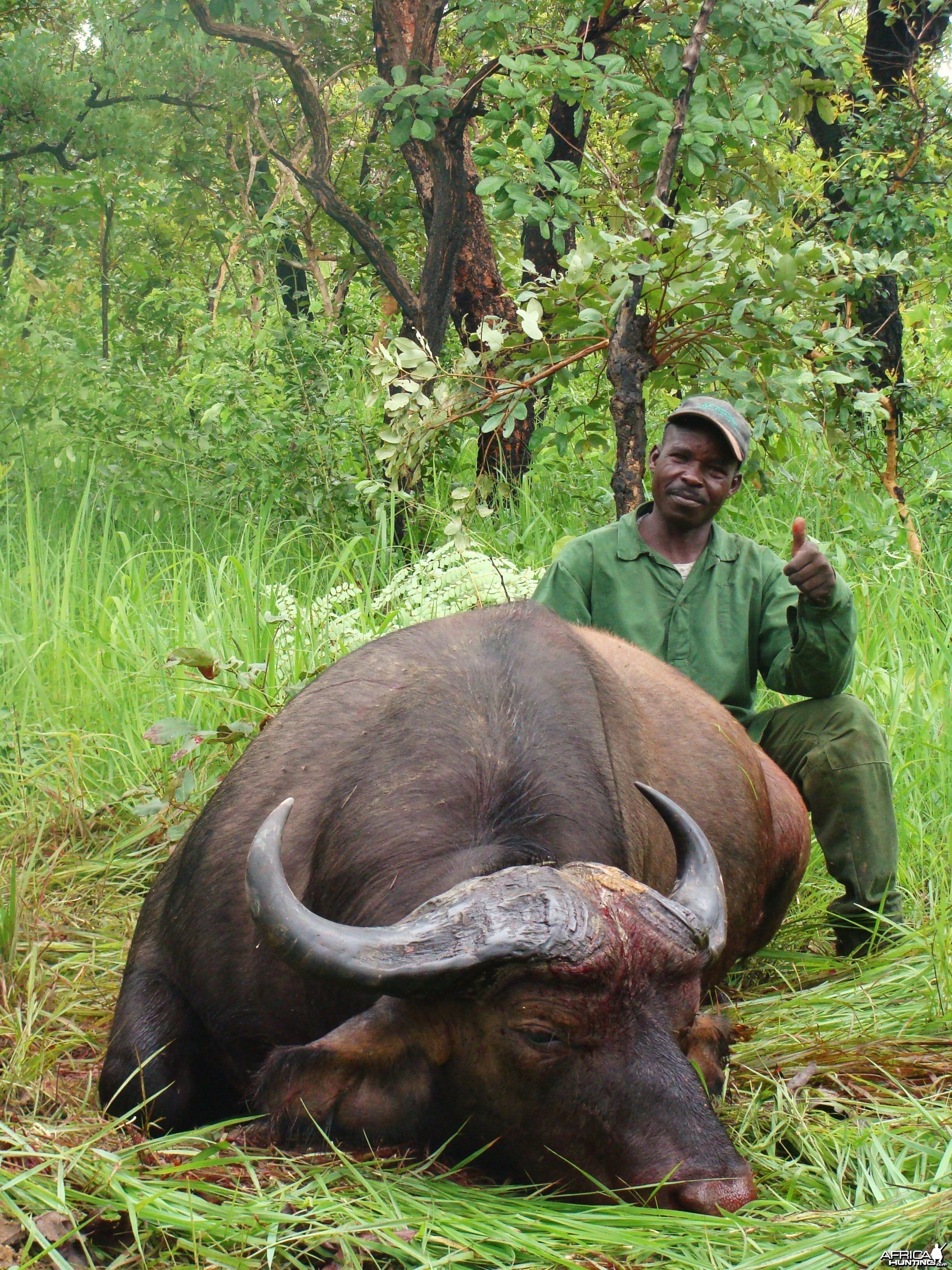 Nice Buffalo hunted in CAR with Central African Wildlife Adventures