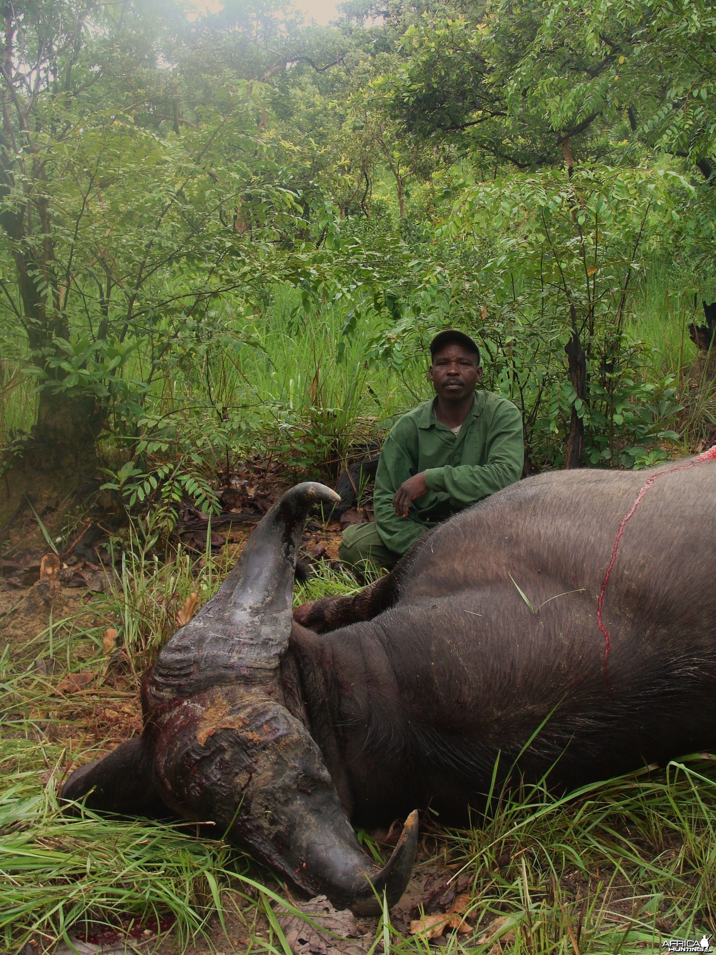Very old 33 inch spread Buffalo hunted in CAR with Central African Wildlife