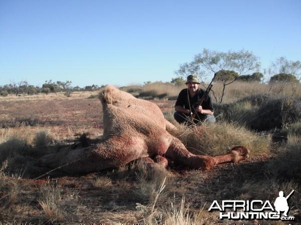 Hunting Camel in Australia