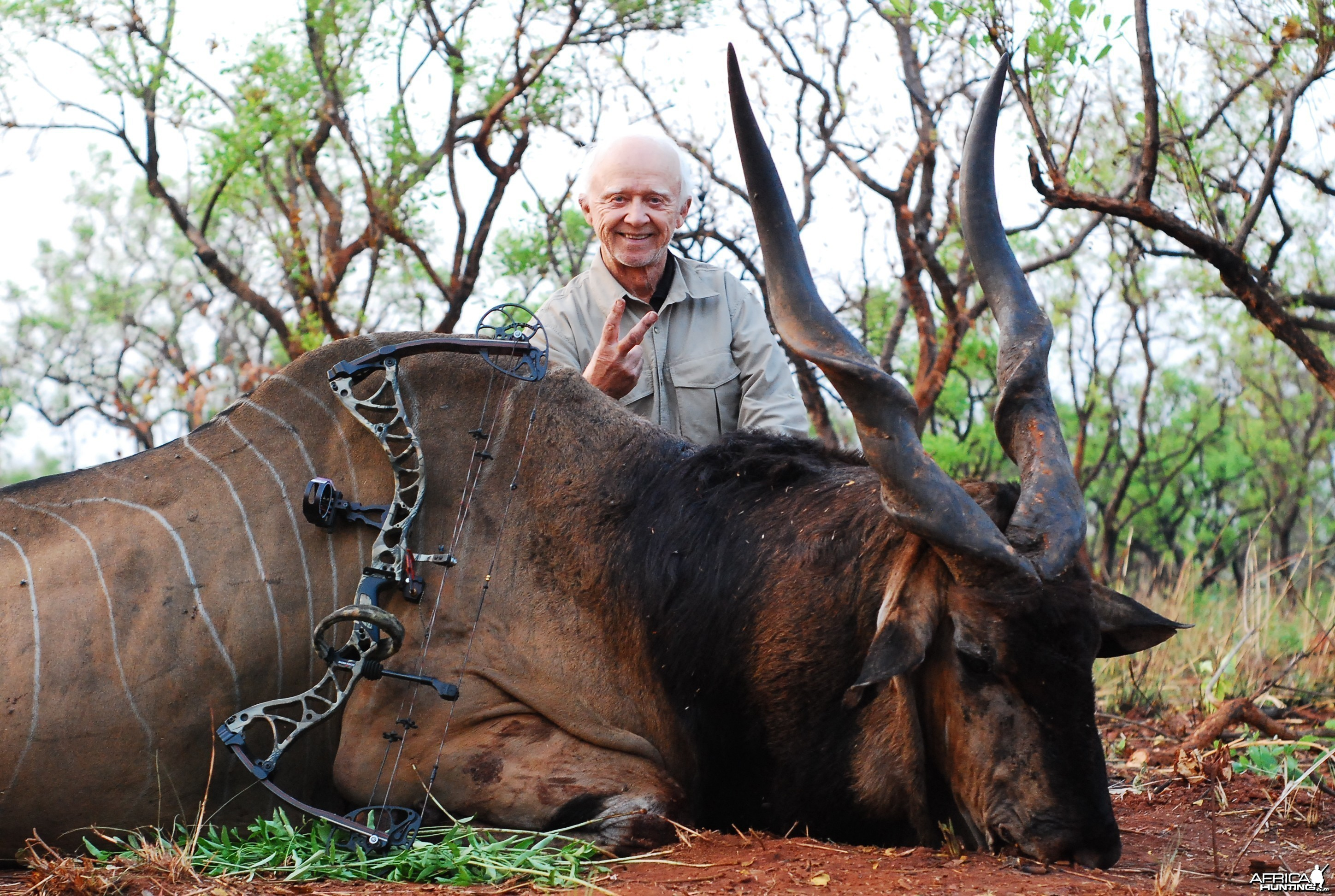 Eland bowhunted in CAR with Central African Wildlife Adventures