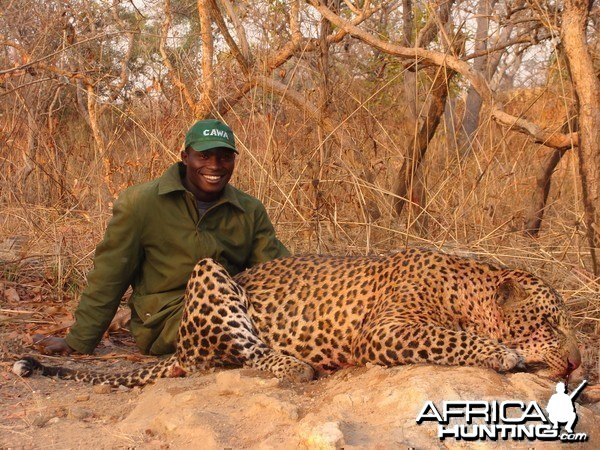 Leopard hunted in CAR with Central African Wildlife Adventures
