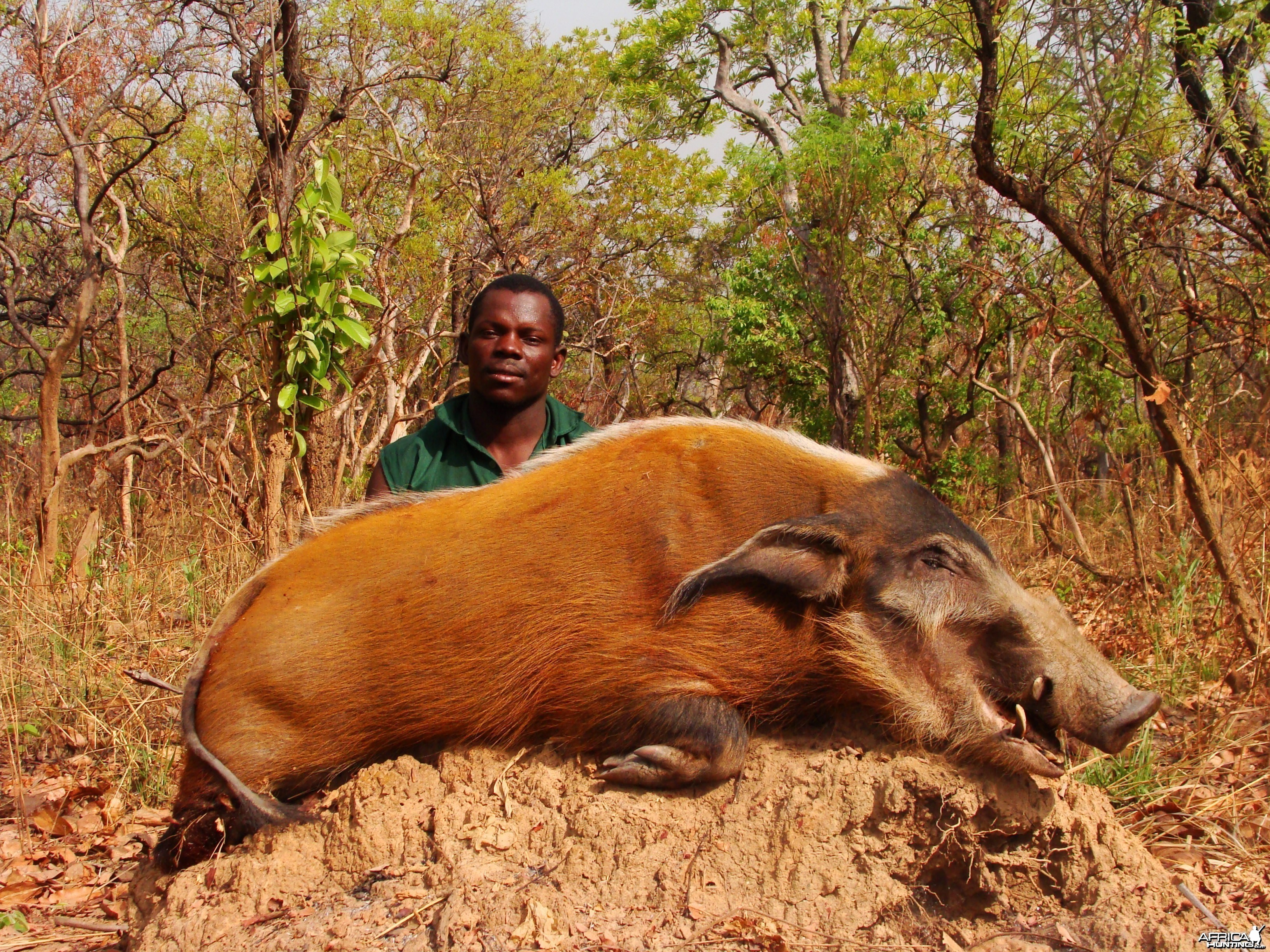 Red River Hog hunted in CAR with CAWA