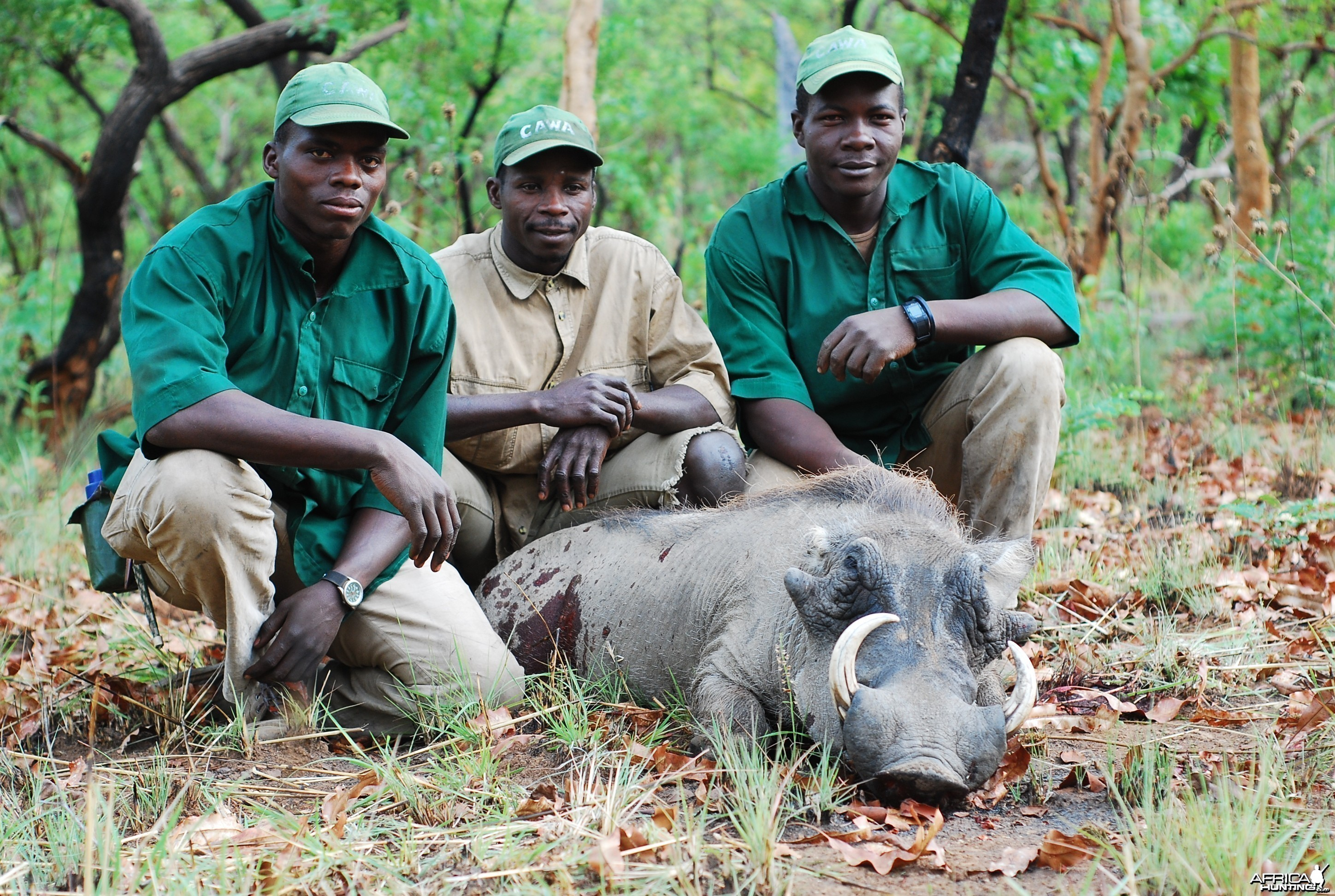 Warthog hunted in CAR with Central African Wildlife Adventures