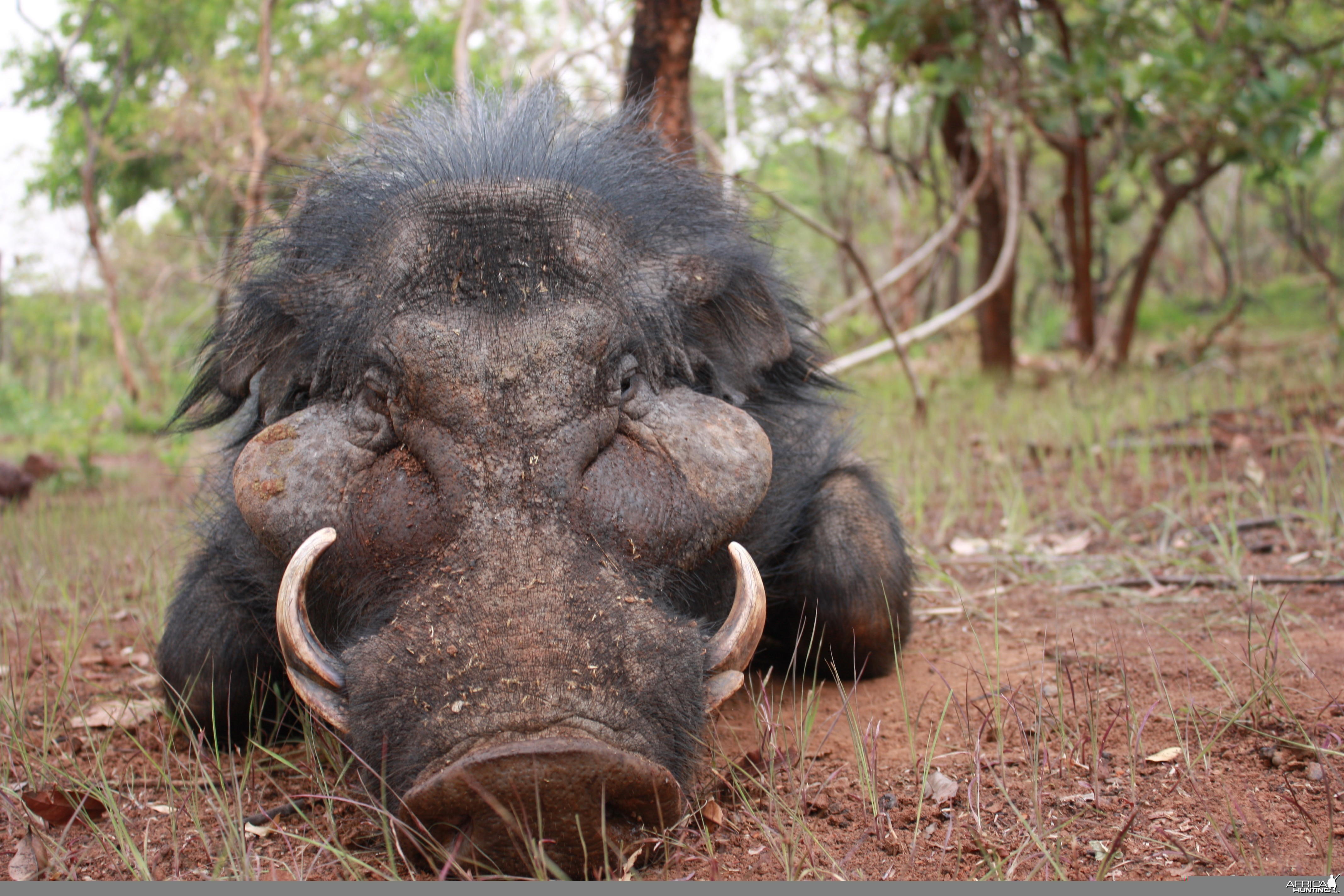 Giant Forest Hog hunted in CAR with CAWA