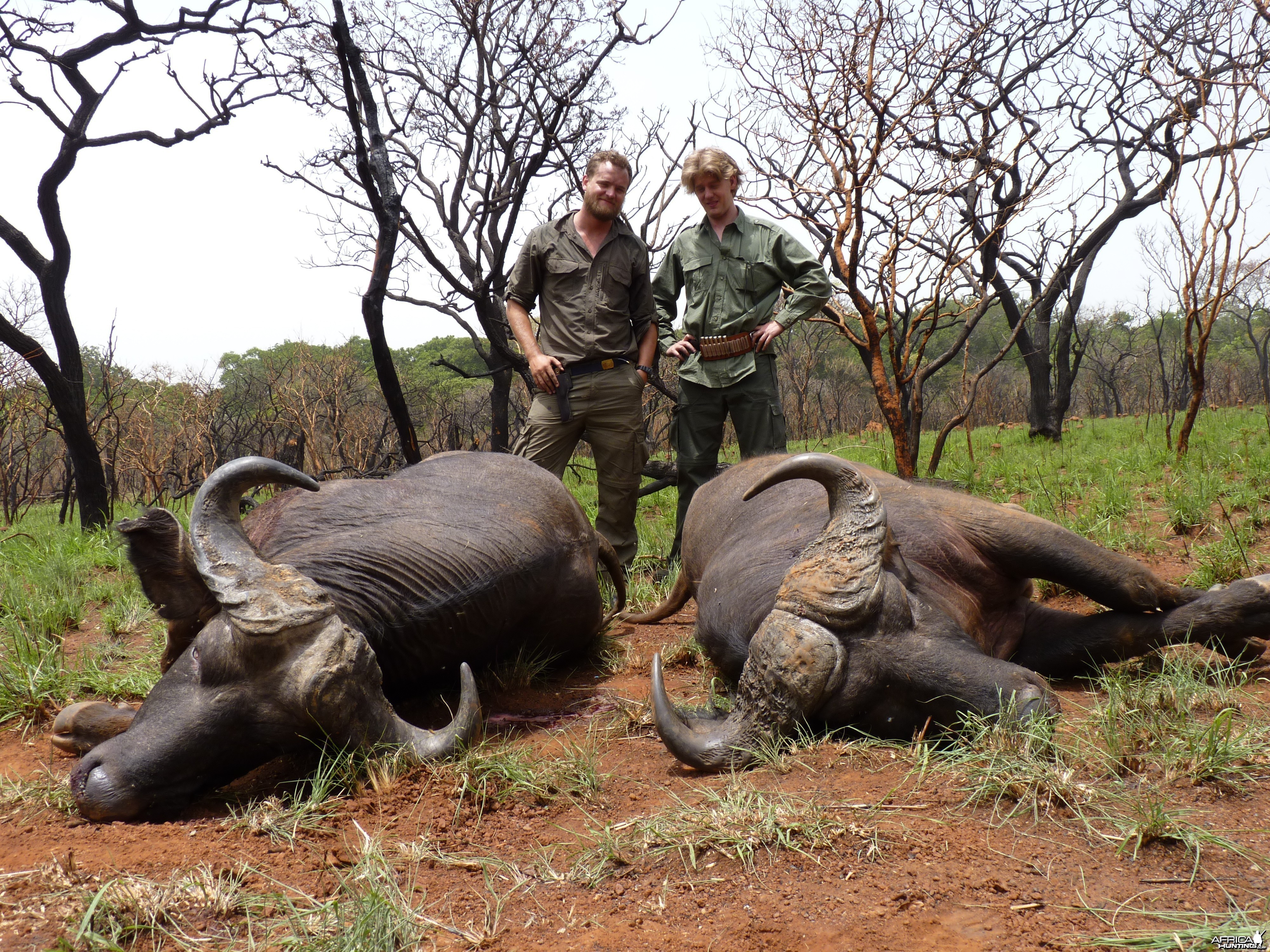 Buffaloes hunted in Central African Republic with CAWA