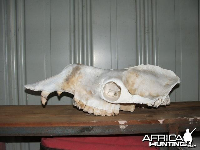 Camel skull