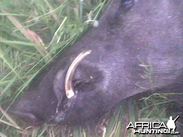 29cm Wild Boar