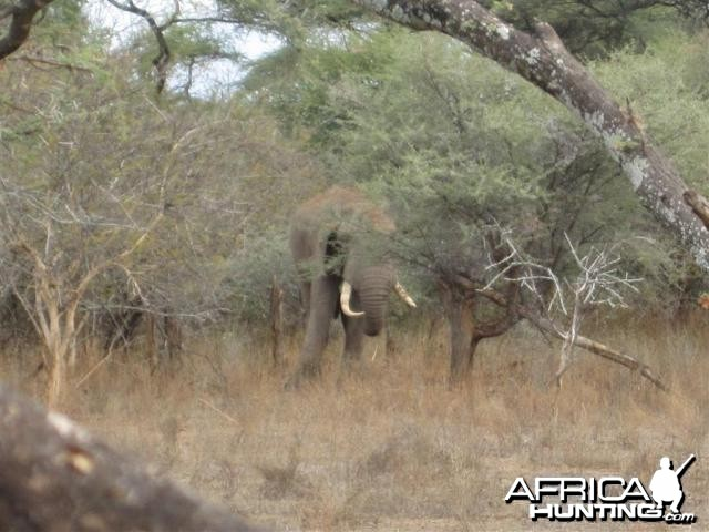 Elephant in Save Valley Conservancy Zimbabwe