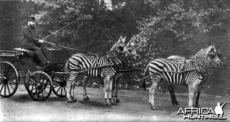 Lord Rothschild with his famed Zebra carriage