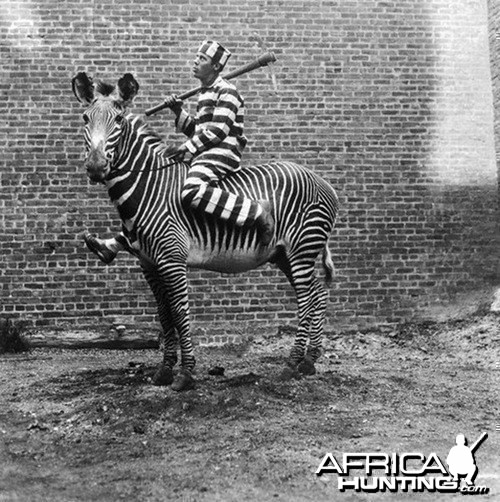 Riding Zebra