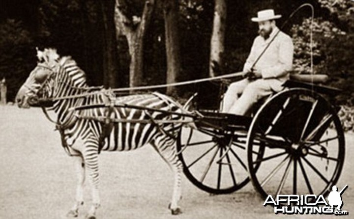 Zebra drawn carriage driven by Lord Lionel Walter Rothschild