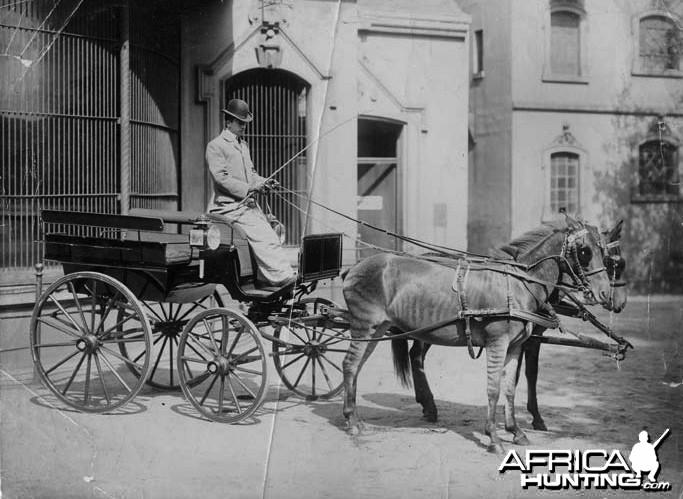 Zebra drawn carriage