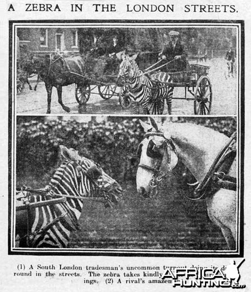 A Zebra in the London street