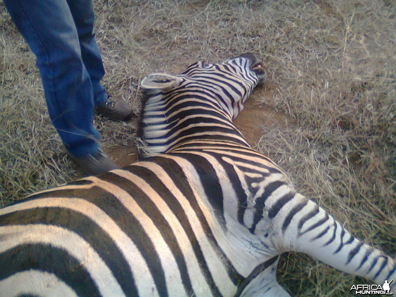 Radolfo's zebra