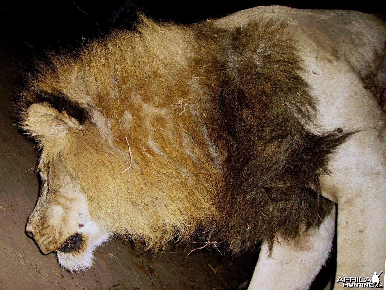 Big Lion hunted in Zambia with Prohunt Zambia