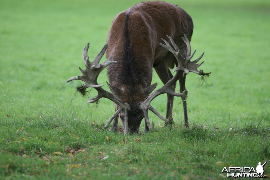 Red Deer England