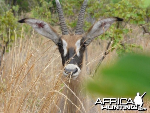 Young Roanne Antilope - Burkina Faso