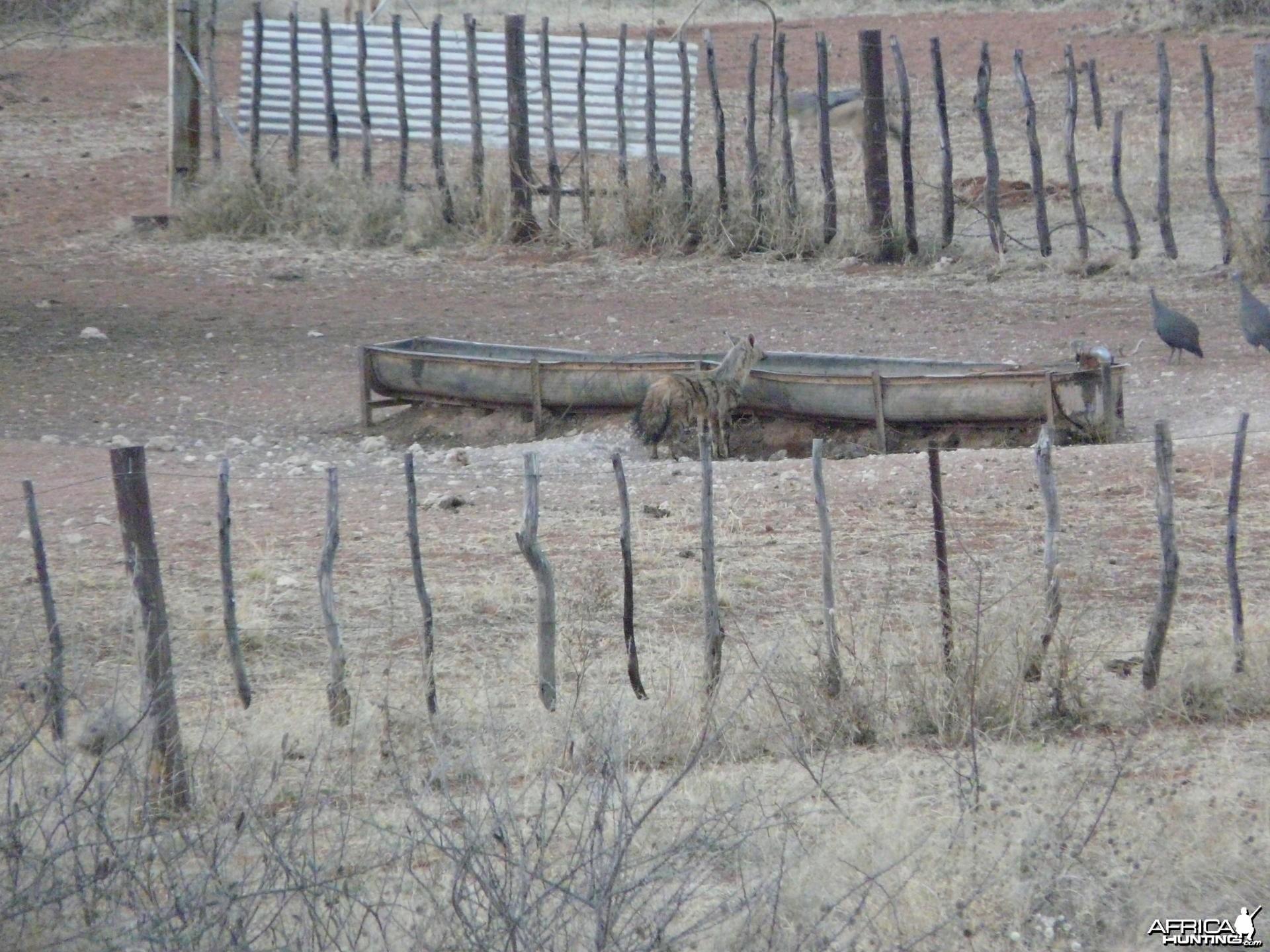 Aardwolf (Proteles cristata) in Namibia
