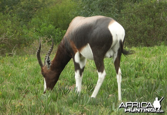 Bontebok South Africa