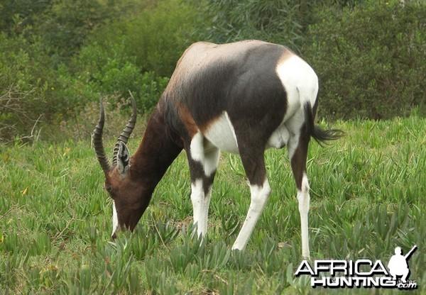Bontebok South Africa