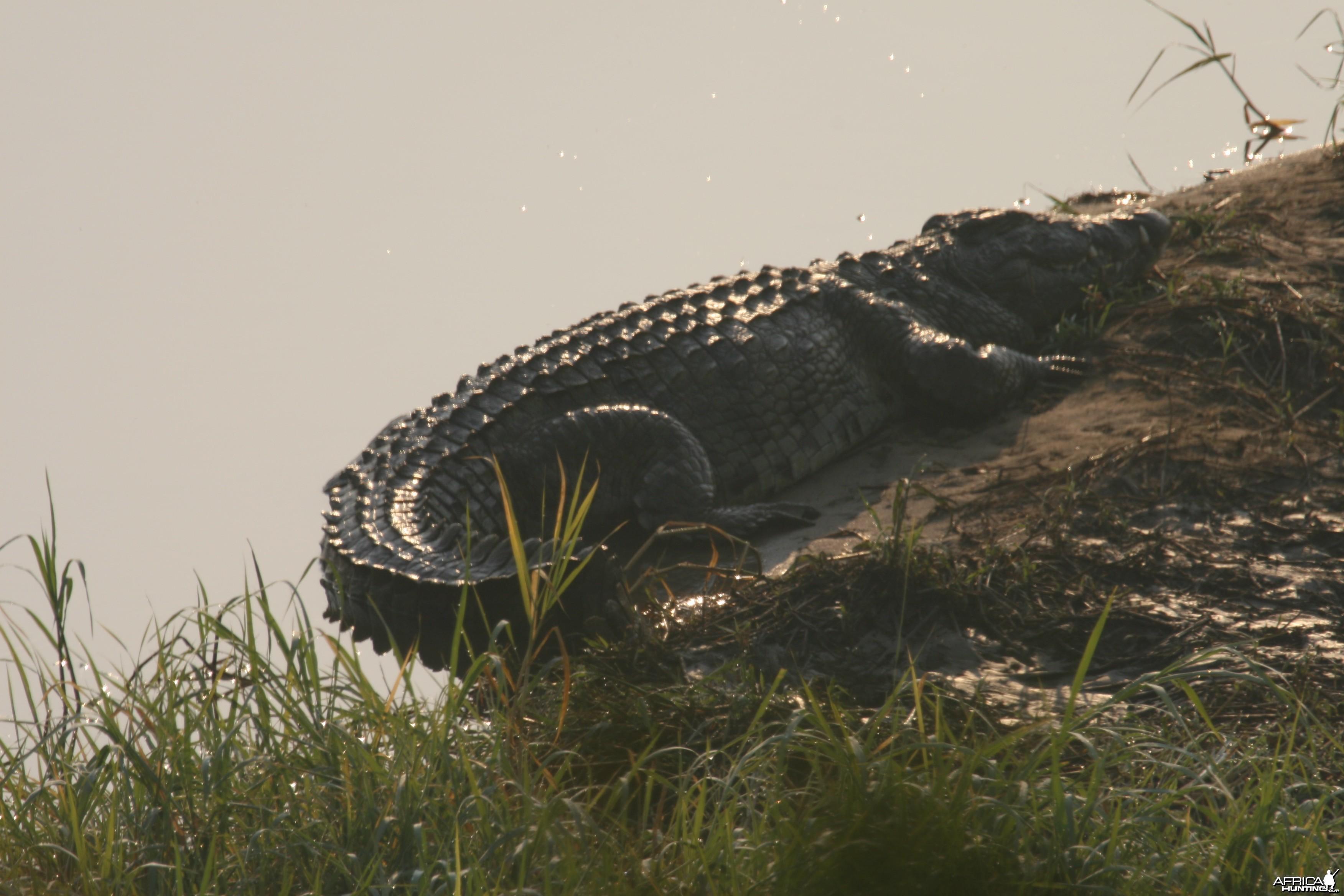 Croc bathing