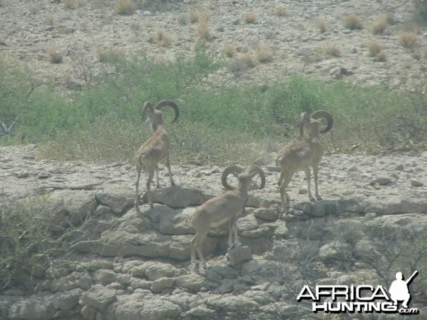 Hunting Sheep in Pakistan
