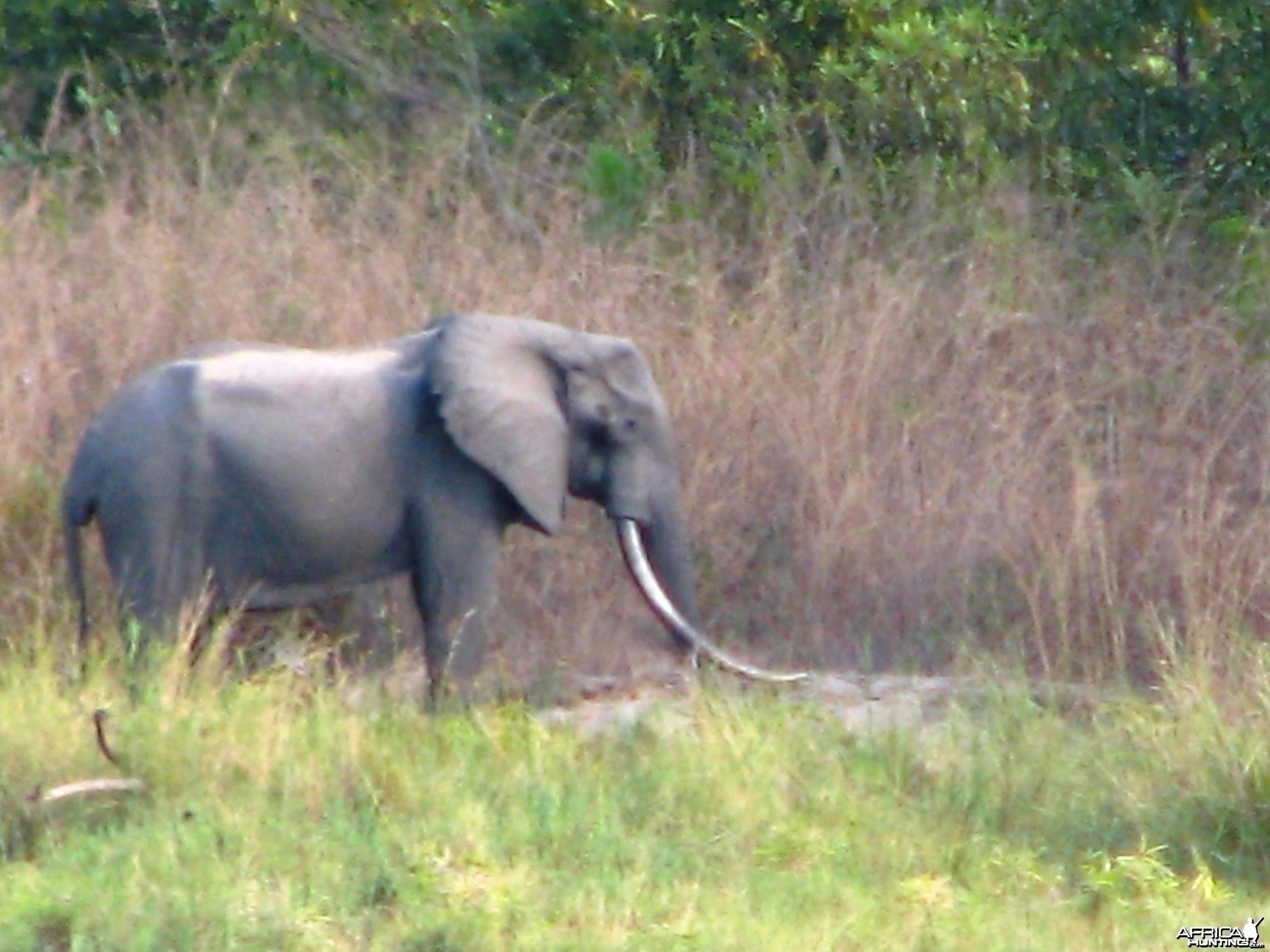 Elephant from Tanzania