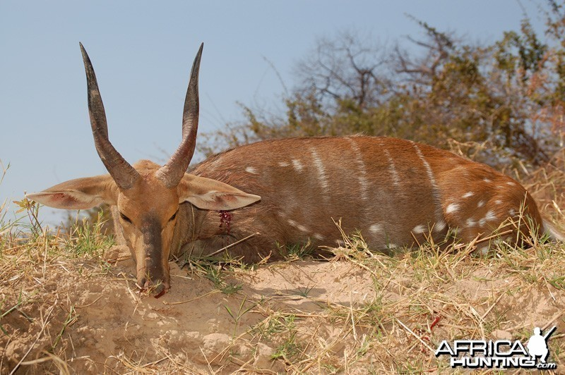 Bushbuck hunted in Zimbabwe