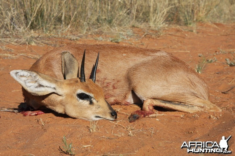 Steenbok hunted in Namibia