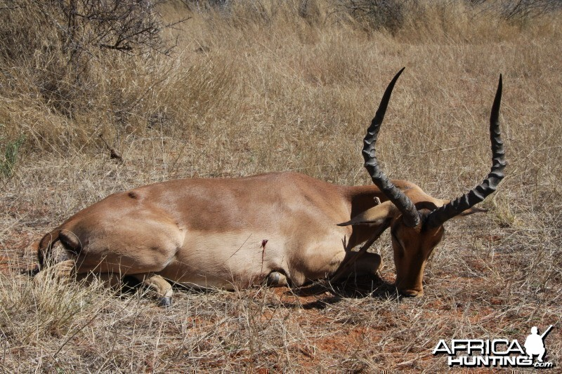 Impala hunted in Namibia