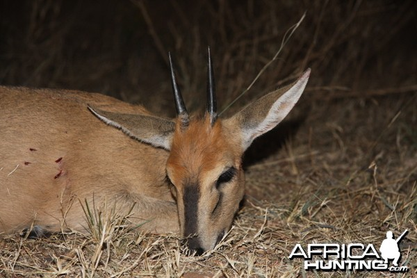 Duiker hunted in Namibia