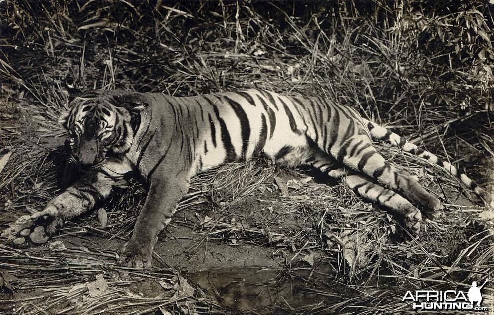Tiger Hunting in Malay Malaysia ca 1920