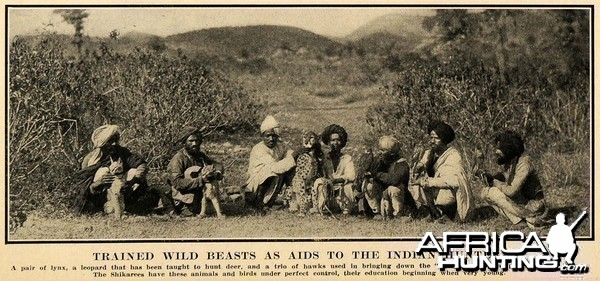 hunting with Trained Cheetah, Lynx and Hawks in India ca 1908