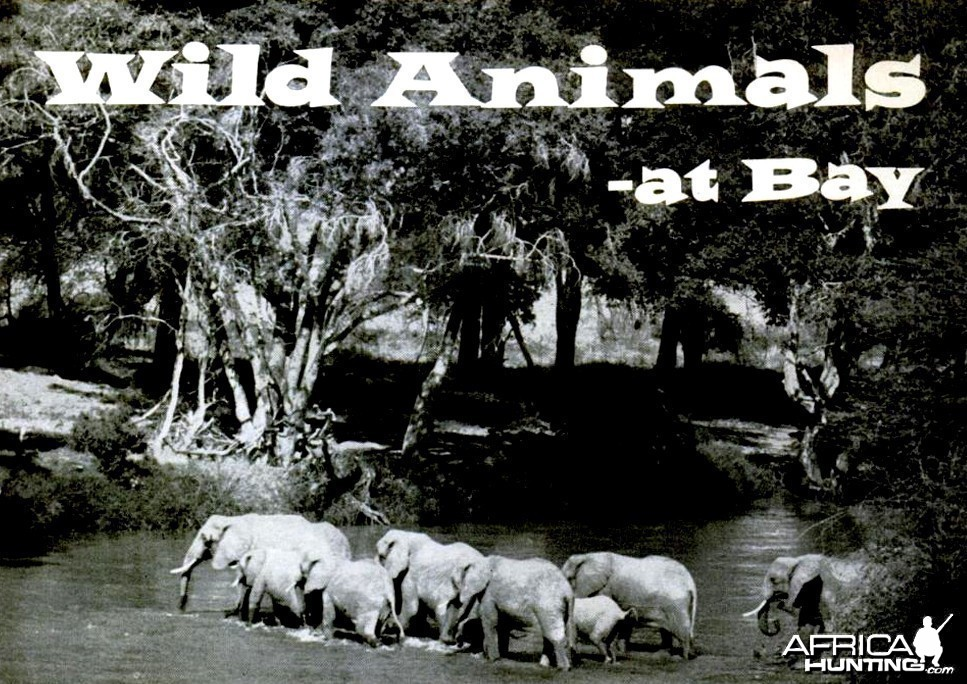 "Wild Animals at Bay by Famous ""White Hunter"" Donald Ker"