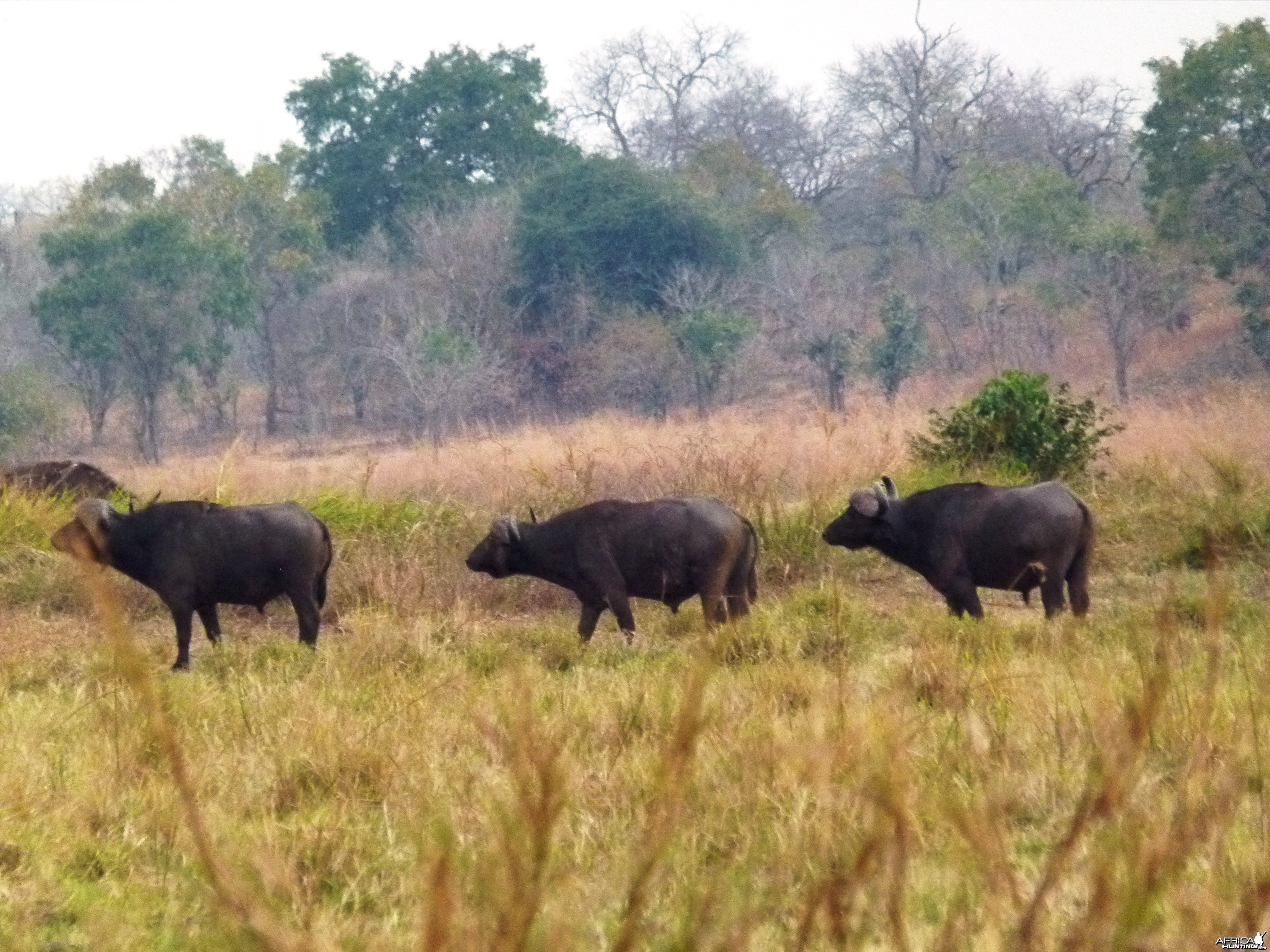 The old Buffaloes that we cherish, clever, cunning and evil... Tanzania