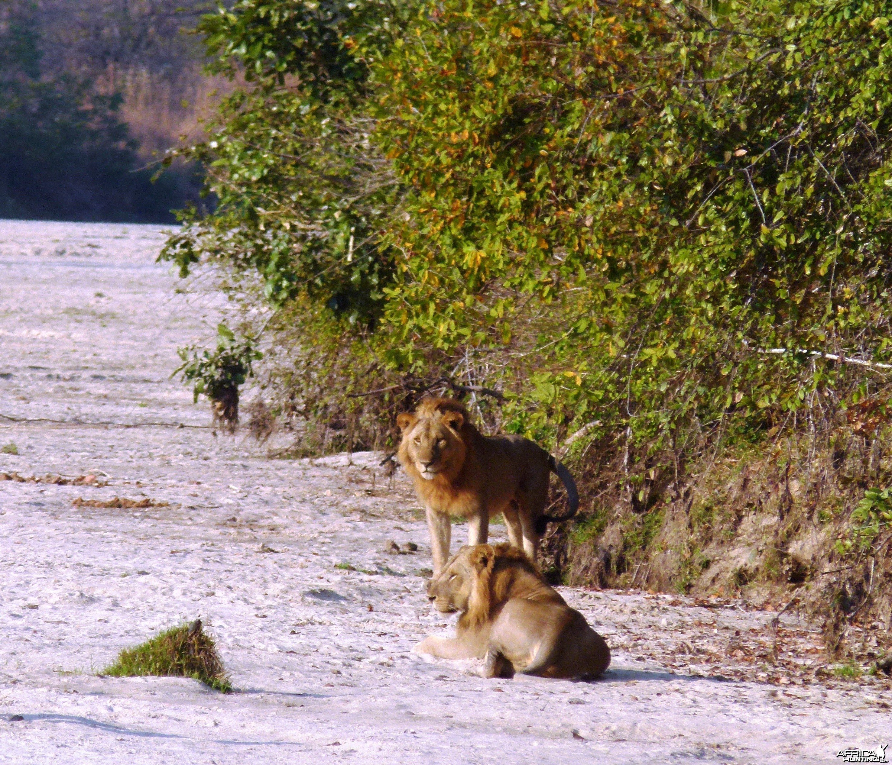 Early morning encounter with Lions... Tanzania