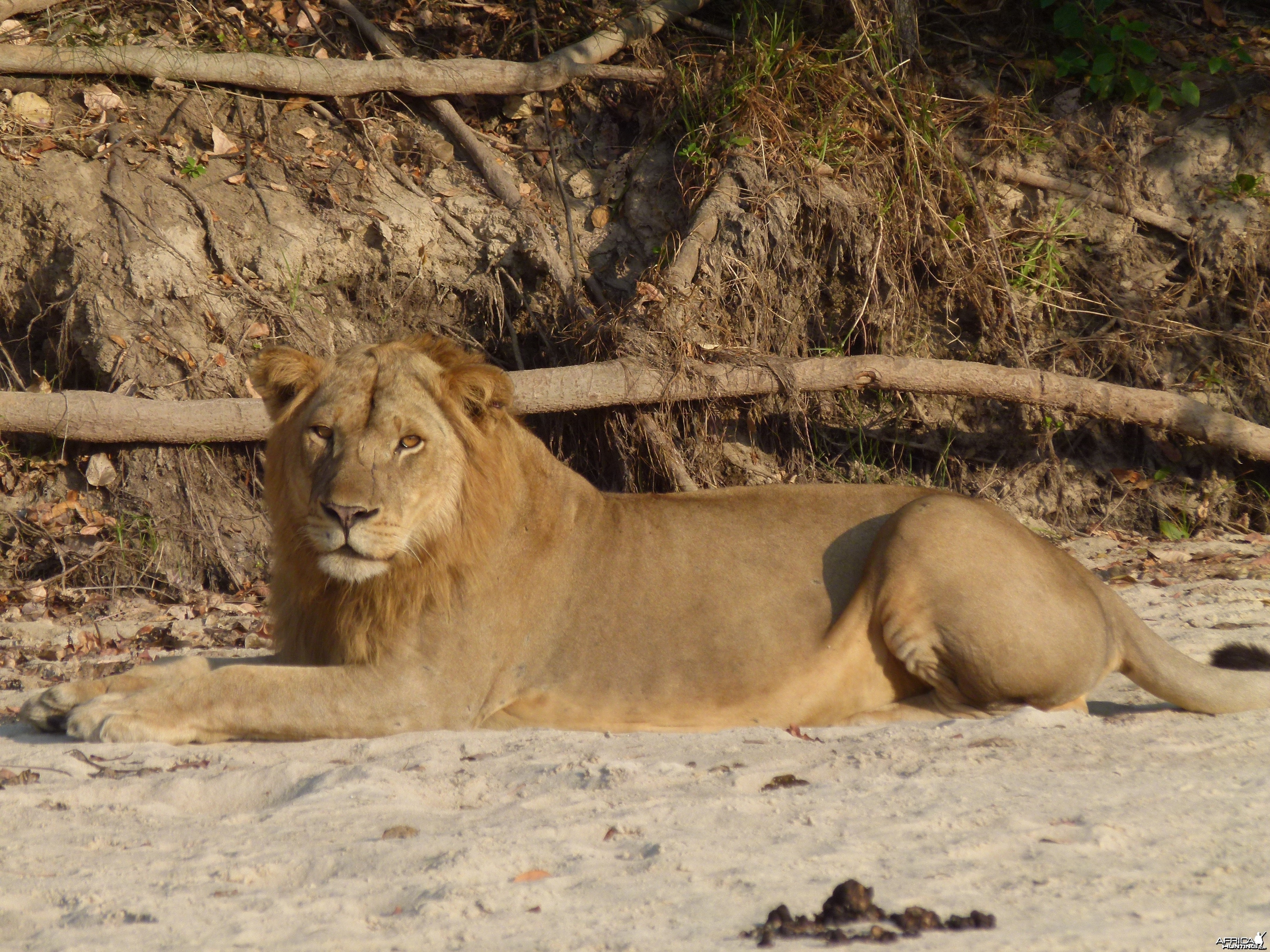 Early morning encounter with Lion... Tanzania