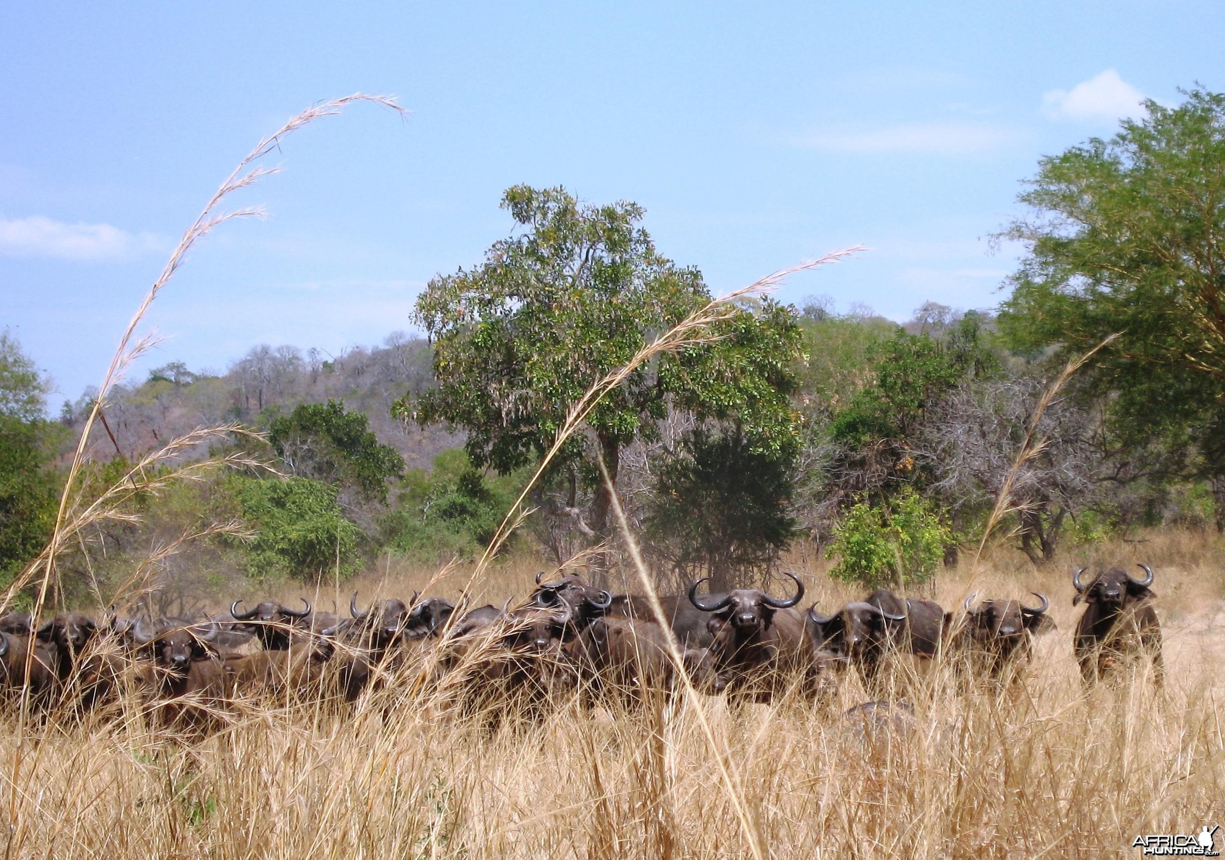 Buffaloes in Tanzania