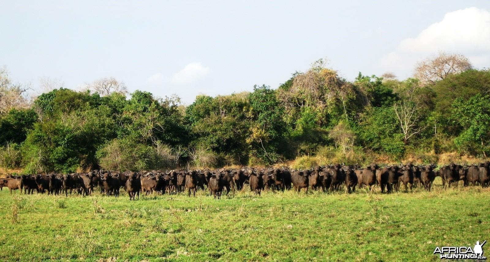 A few Buffaloes... Tanzania