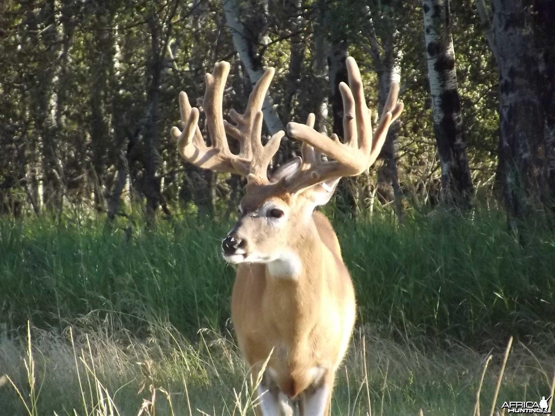 Whitetail hunting in Saskatchewan