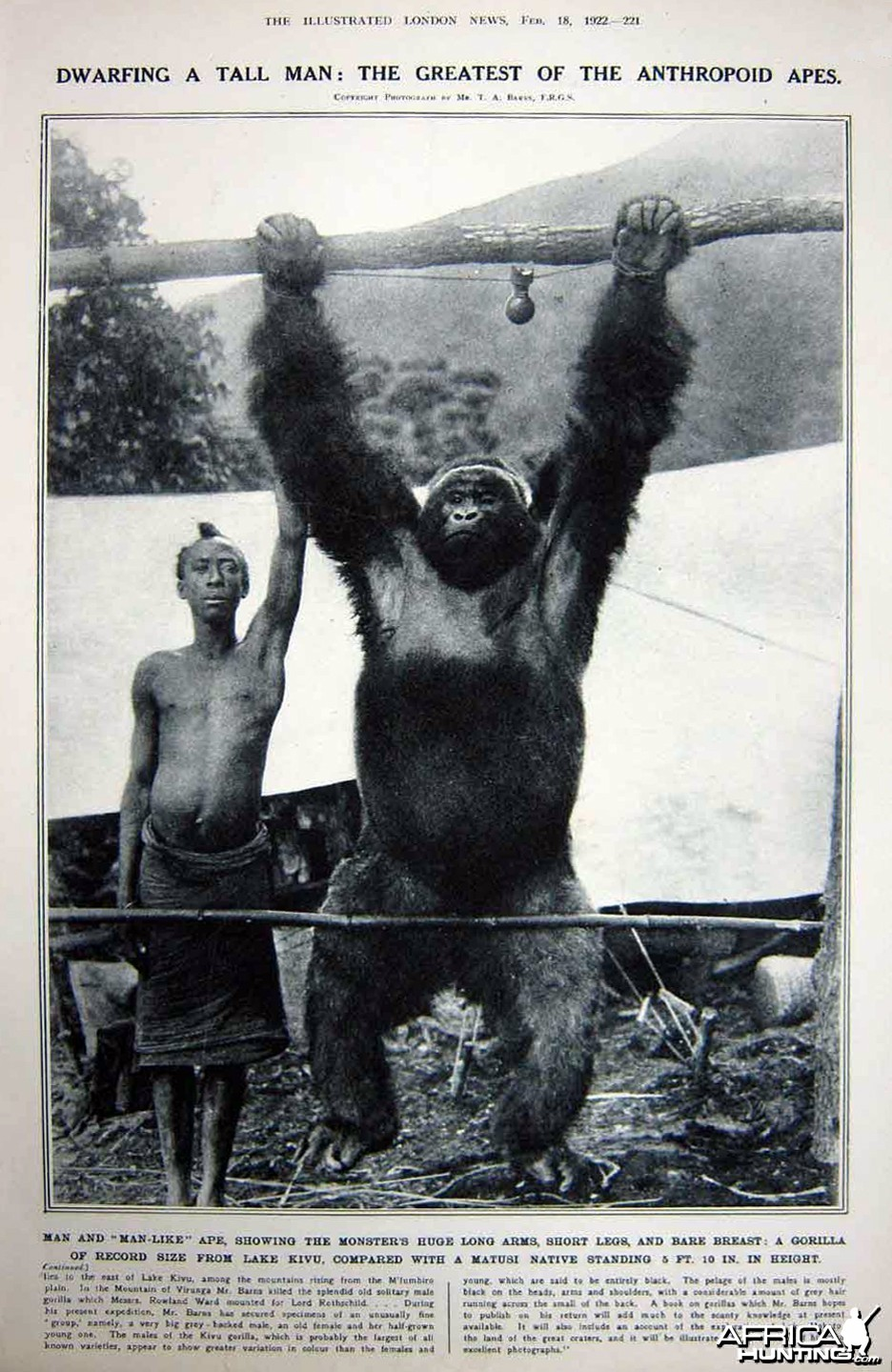 Dwarfing a Tall Man: The Greatest of the Anthropoid Apes